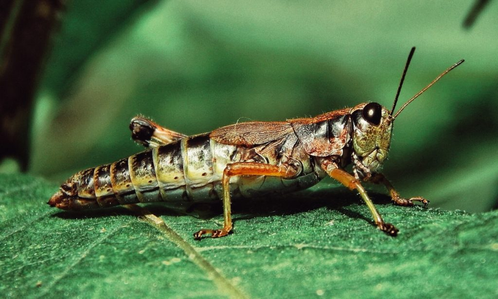 Locusts Turned into Successful Bomb-sniffing Cyborgs by Scientists